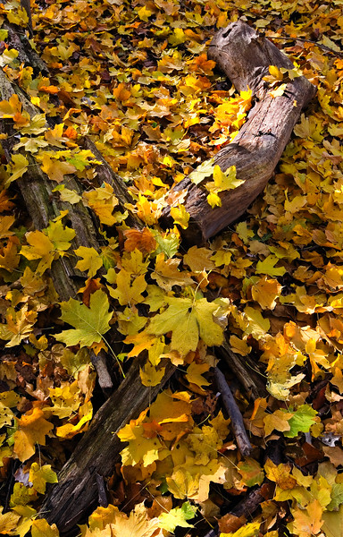 Autumn color covers the ground of McDowell Grove. Naperville, IL<br /> <br /> IL-061025-0001