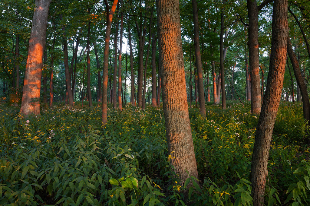 As the sun sinks low in the horizon, its light is able to reach deep into the wooded areas, lighting the dormant tree trunks. Wheaton, IL<br /> <br /> IL-090917-0039