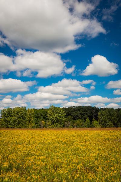 Big Woods Goldenrod