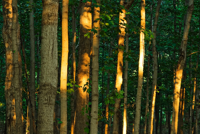 Sunset light on the woods of McDowell Grove. Naperville, IL<br /> <br /> IL-071004-0038