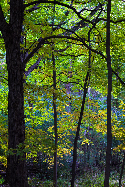 Fall color in the woods of Warrenville Grove. Warrenville, IL<br /> <br /> IL-091011-0093