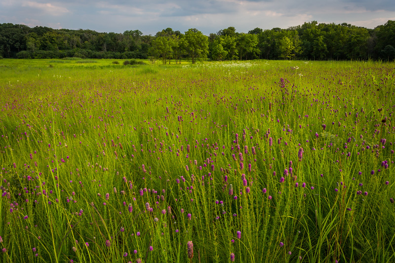 Storm clouds move over a field of purple prairie clover at Churchill Woods Forest Preserve. Glen Ellyn, IL<br /> <br /> IL-150723-0024