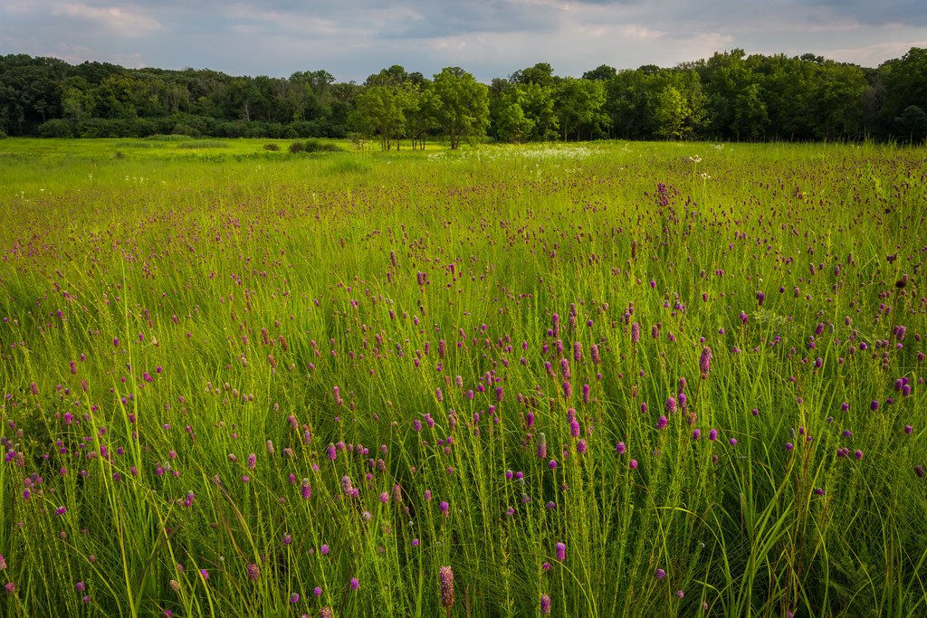 Storm clouds move over a field of purple prairie clover on Churchill Woods Forest Preserve. Glen Ellyn, IL<br /> <br /> IL-150723-0024