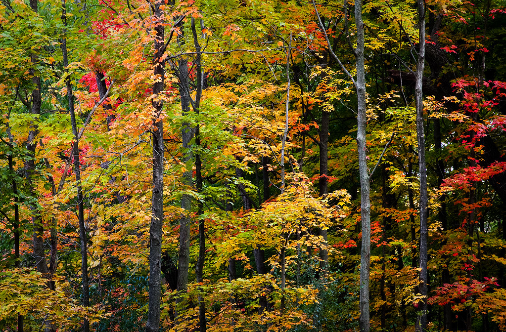Fall color in the woods of Warrenville Grove. Warrenville, IL<br /> <br /> IL-091011-0079