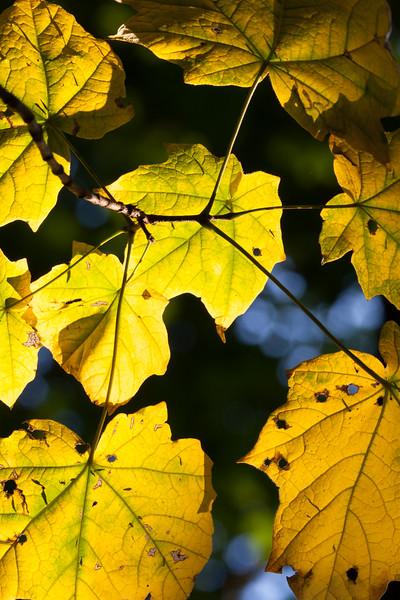 Backlit leafs. Naperville, IL<br /> <br /> IL-071004-0007