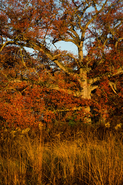 Oak and Grasses
