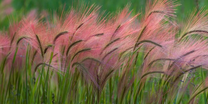 Display of color in the grasses. Naperville, IL<br /> <br /> IL-090605-0003