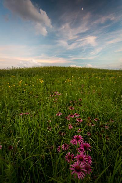Springbrook Prairie Purple Coneflowers