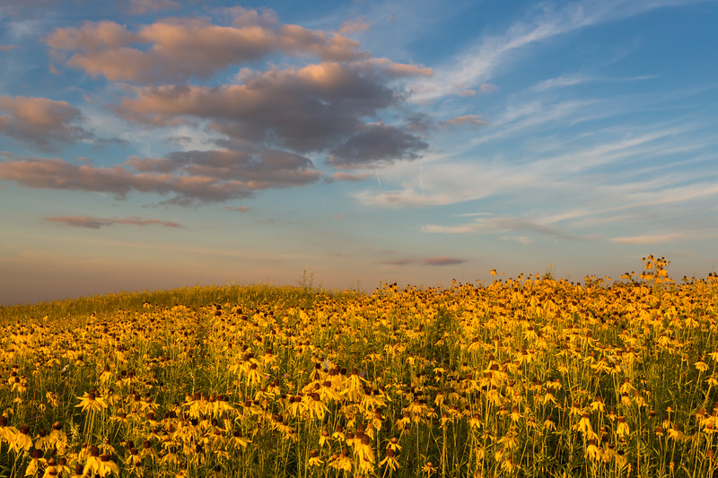 Coneflowers and Sunset