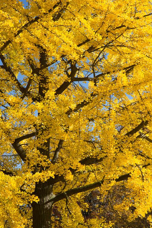 Ginko Autumn