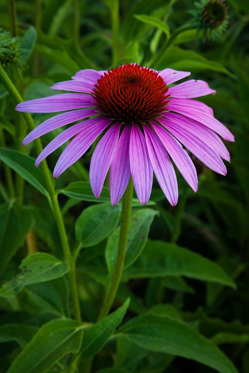 Purple coneflower. Naperville, IL<br /> <br /> IL-090723-0004