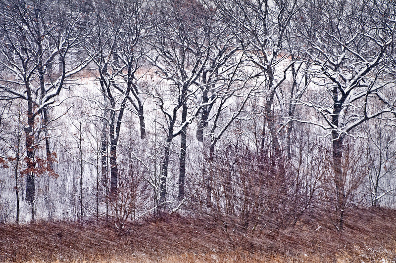 GP 010                  A winter blizzard blows through an oak savanna at Glacial Park Conservation Area, McHenry County, Illinois.