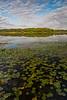 Lake Patterson Water Lilies