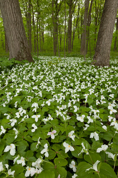 White trillium carpets the grounds of Wright Woods Forest Preserve. Libertyville, IL<br /> <br /> IL-100501-0010