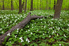 White trillium carpets the grounds of Wright Woods Forest Preserve. Libertyville, IL<br /> <br /> IL-100501-0026
