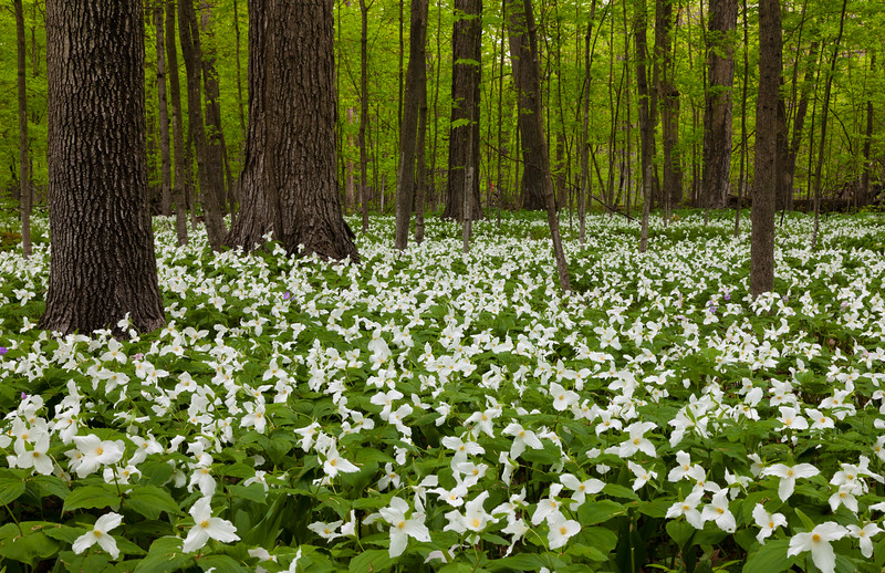 White trillium carpets the grounds of Wright Woods Forest Preserve. Libertyville, IL<br /> <br /> IL-100501-0012