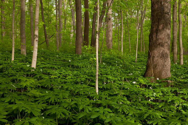 Mayapple covers the forest floor at Wright Woods Forest Preserve. Libertyville, IL<br /> <br /> IL-100501-0060
