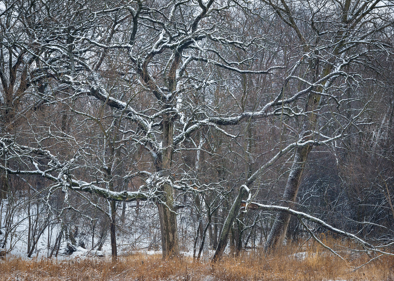 LO 009<br /> <br /> A fresh snowfall traces the lines of every twig and branch, transforming every tree in the woods into a natural sculpture.  Leroy Oaks forest preserve, Kane County, Illinois.