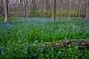 MW 003                     Virginia bluebells carpet the forest floor in Messenger Woods Forest Preserve, Will County, Illinois.