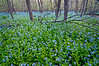MW 001                     Virginia bluebells carpet the forest floor in Messenger Woods Forest Preserve, Will County, Illinois.