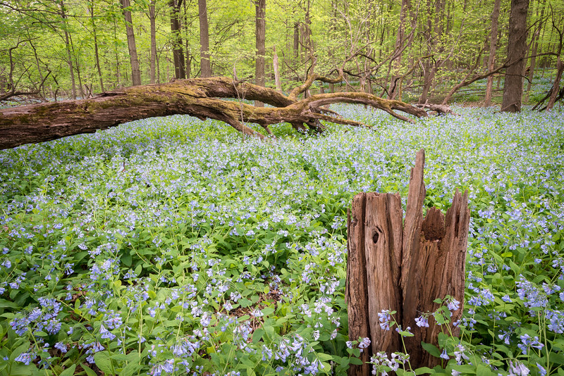 OW 011<br /> <br /> A massive spring bloom of virginia bluebells at O'Hara Woods Nature Preserve, Will County, Illinois.