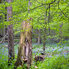 OW 019<br /> <br /> A carpet of wildflowers and a canopy of emerging leaves creates a tapestry of spring color at O'Hara Woods Nature Preserve in Will County, Illinois.