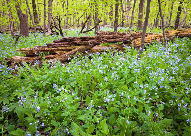 OW 010<br /> <br /> Virginia bluebells carpet the floor of the spring woods at O'Hara Woods Nature Preserve, Will County, Illinois.