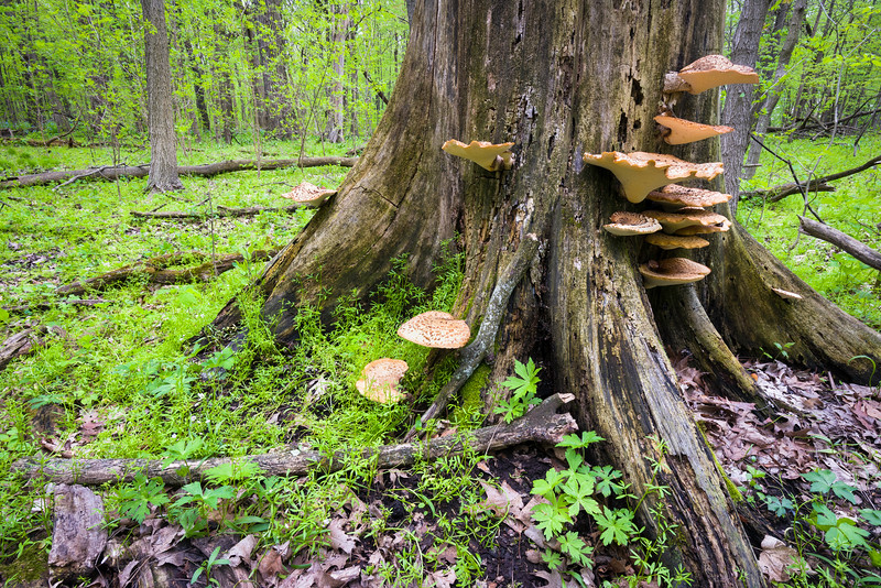 OW 007<br /> <br /> The cycle of decay and renewal can be seen in the spring woods at O'Hara Woods Forest Preserve in Will County, Illinois.