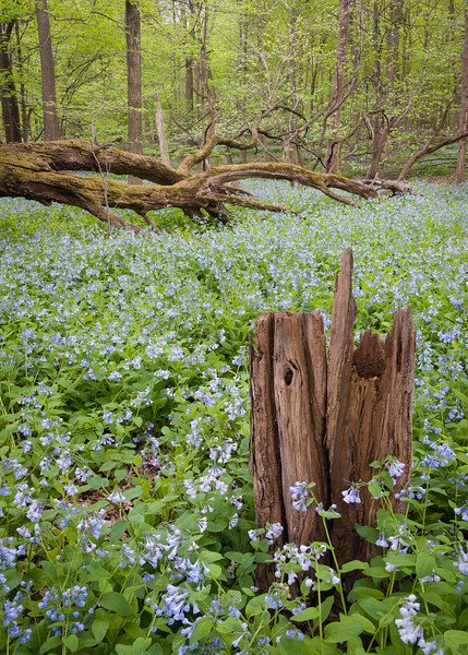 OW 012<br /> <br /> A massive spring bloom of virginia bluebells at O'Hara Woods Nature Preserve, Will County, Illinois.