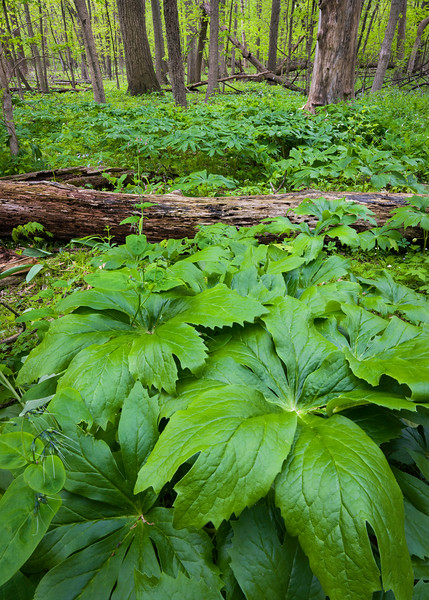 OW 001<br /> <br /> The umbrella shaped leaves of the mayapple carpet the floor of the spring woods at O'Hara Woods Nature Preserve in Will County, Illinois.
