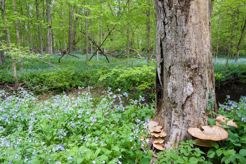 OW 014<br /> <br /> Decay and renewal in the spring woods at O'Hara Woods Nature Preserve, Will County, Illinois.