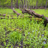 OW 002<br /> <br /> Verdant vegetation and wildflowers transform the spring woods into a lush environment.  O'Hara Woods Nature Preserve, Will County, Illinois.