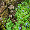 OW 026<br /> <br /> Spring wildflowers bloom next to a decaying log at O'Hara Woods Forest Preserve, Will County, Illinois.