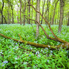 OW 009<br /> <br /> Virginia bluebells carpet the floor of the spring woods at O'Hara Woods Nature Preserve, Will County, Illinois.