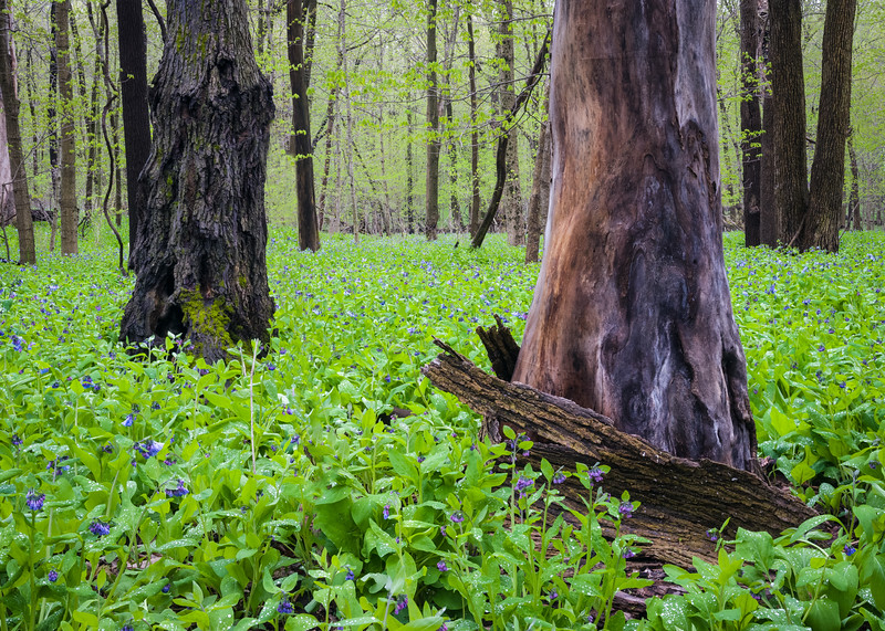 OW 018<br /> <br /> Virginia bluebells transform the forest floor into a carpet of spring green at O'Hara Woods Nature Preserve in Will County, Illinios.