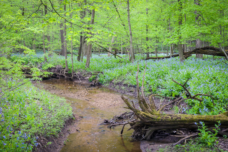 OW 017<br /> <br /> Lily Cache Creek flows through a spring landscape of virginia bluebells and old growth forest.