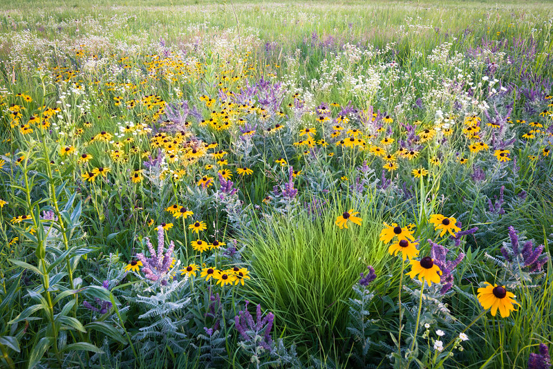 SFP 004<br /> <br /> Sunset light on summer wildflowers at Shoe Factory Road Prairie.  Cook County, Illinois.