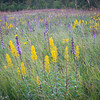 SFP 028<br /> <br /> Desk settles over a late summer prairie of native showy goldenrod and rough blazing star.  Shoe Factory Road Nature Preserve, Cook County, Illinois, USA.