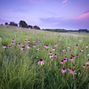 SFP 009<br /> <br /> Purple coneflowers at dusk on the slop of a glacial deposit.  Shoe Factory Road Prairie, Cook County, Illinois.