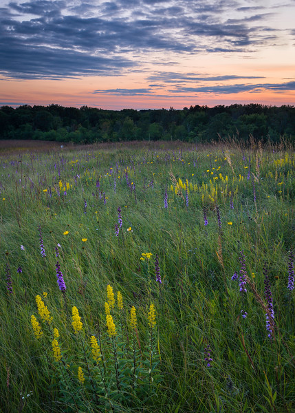 SFP 027<br /> <br /> Desk settles over a late summer prairie of native showy goldenrod and rough blazing star.  Shoe Factory Road Nature Preserve, Cook County, Illinois, USA.