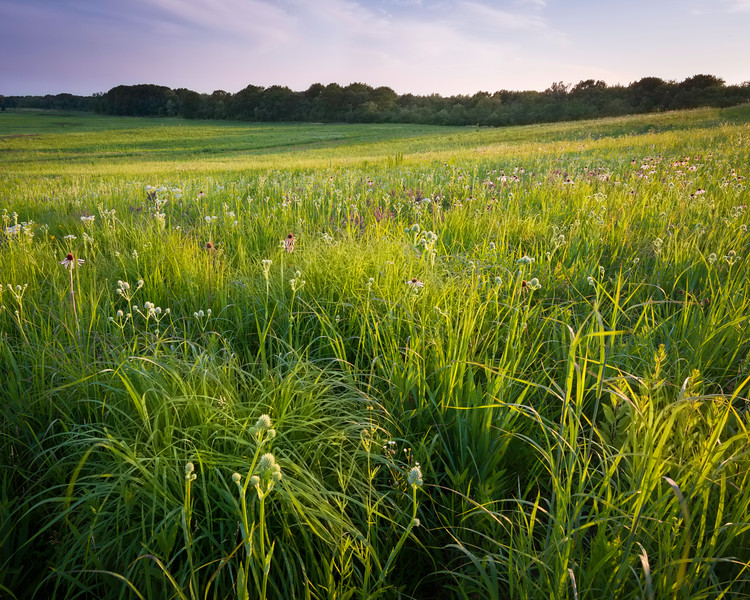SFP 006<br /> <br /> Prairie grasses and native wildflowers glow in the last rays of the setting sun.  Shoe Factory Road Prairie, Cook County, Illinois.