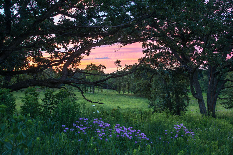 SFP 019<br /> <br /> The dawn sky peaks through the branches of an oak savanna at Shoe Factory Road Nature Preserve.  Cook County, Illinois.