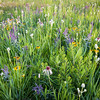 SFP 005<br /> <br /> Sunset light on summer wildflowers at Shoe Factory Road Prairie.  Cook County, Illinois.