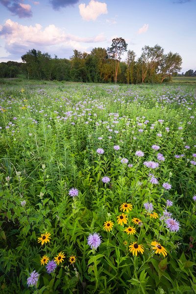 SFP 016<br /> <br /> Sunset light on section of prairie dominated by black-eyed susan and wild bergamot.  Shoe Factory Road Prairie, Cook County, Illinois.