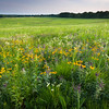 SFR 003<br /> <br /> Prairie wildflowers at sunset at the end of a summer day.  Shoe Factory Road Prairie, Cook County, Illinois.
