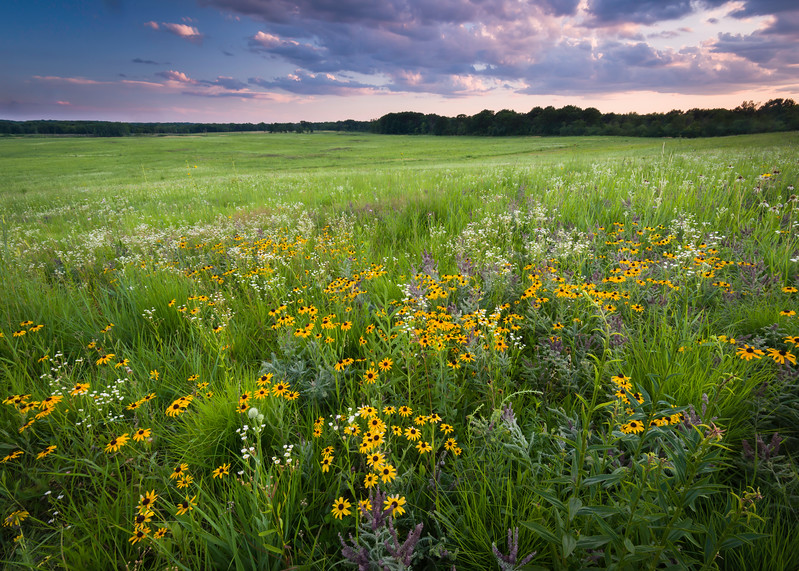 SFR 014<br /> <br /> Prairie wildflowers at sunset at the end of a summer day.  Shoe Factory Road Prairie, Cook County, Illinois.