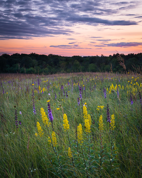 SFP 029<br /> <br /> Desk settles over a late summer prairie of native showy goldenrod and rough blazing star.  Shoe Factory Road Nature Preserve, Cook County, Illinois, USA.