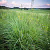 SFP 011<br /> <br /> Prairie grasses beneath a twilight sky.  Shoe Factory Prairie, Cook County, Illinois.