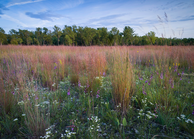 TS 003<br /> <br /> Late summer native wildflowers at sunset in a rare restored dolomite prairie habitat.  Theodore Stone Forest Preserve, Cook County, Illinois, USA.