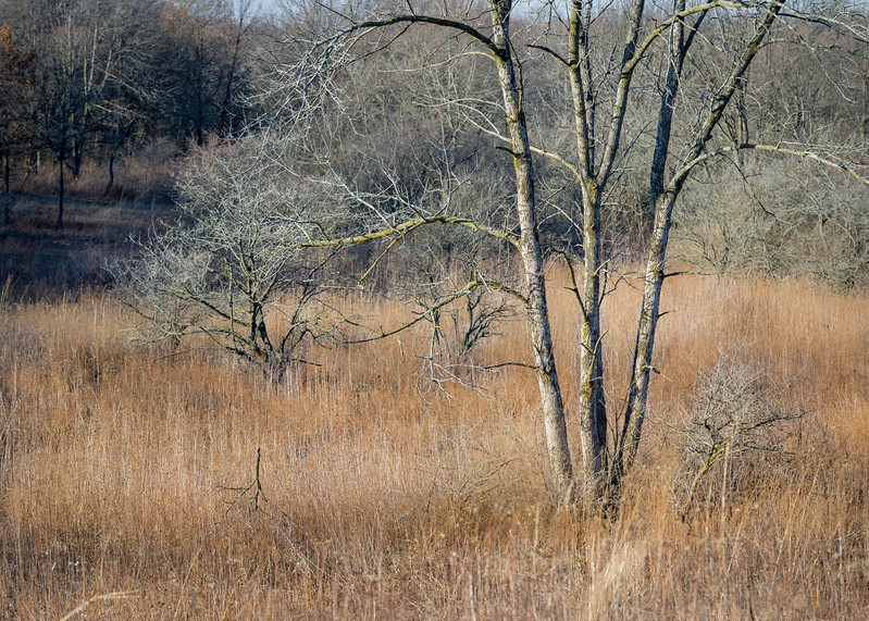 SW 011<br /> <br /> Afternoon light on prairie grasses and winter trees.  Spears Woods Forest Preserve, Cook County, Illinois.
